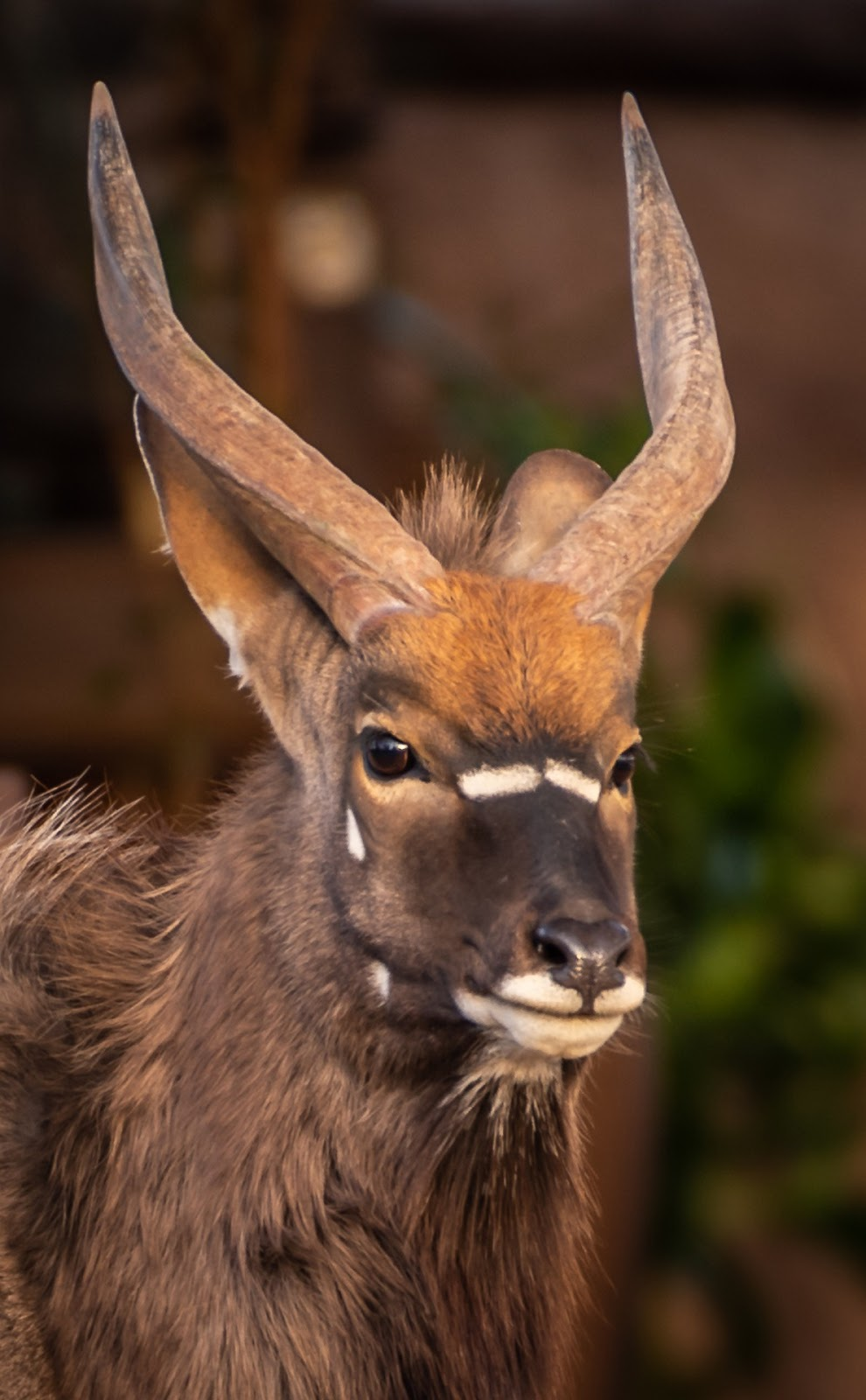 Portrait picture of a nyala antelope.