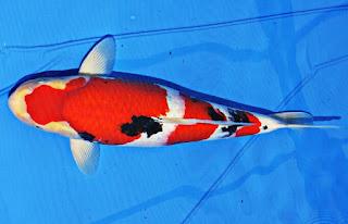 Jenis Ikan Koi Sanke