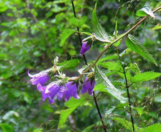 Dzwonek pokrzywolistny (Campanula trachelium).