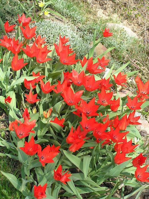 tulipa praestans Van Tubergen