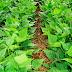 Genética eleva em um terço a produtividade do feijão-carioca no País