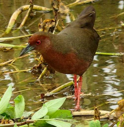 Indian birds - Ruddy-breasted crake - Zapornia fusca