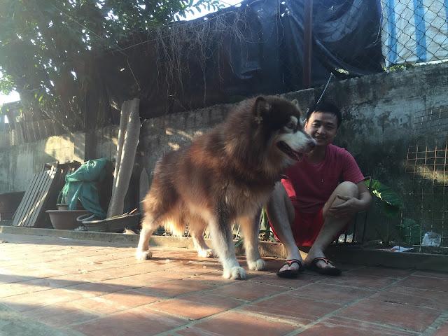 Đực phối giống chó alaska Phi Ngu