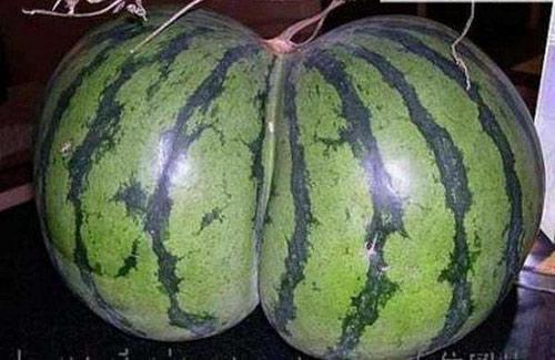 Trái dưa có hình nhạy cảm