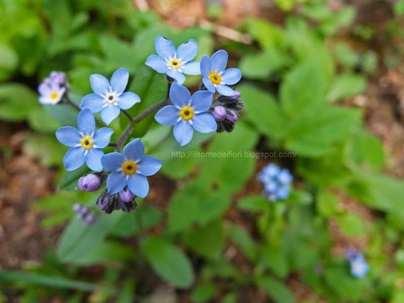 http://ilnomedeifiori.blogspot.com/2014/05/piccoli-fiori-azzurri-nontiscordardime.html