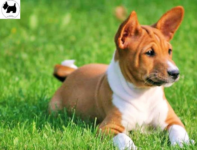 Cutest Dog Breeds, Best Dog, Basenji Dog puppies