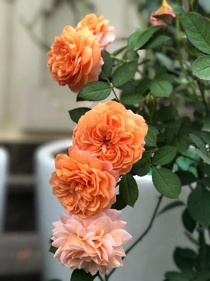 Sân vườn 50 m2 phủ kín hoa hồng của bà mẹ Hòa Bình -11