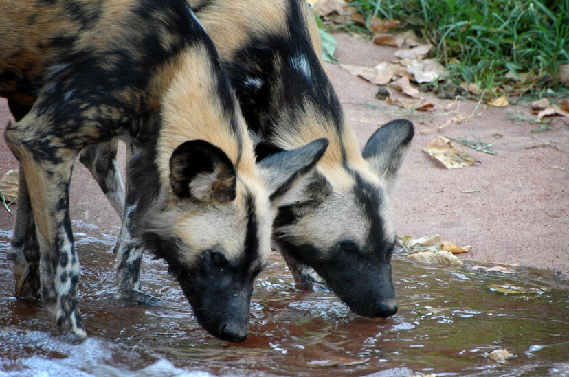 African Wild Dog | The Life of Animals