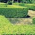 Cara Memperbanyak Pohon Teh Tehan Dan Ciri Acalypha Siamensis
