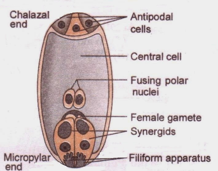 CBSE Class XII NCERT Biology: 7-celled, 8-nucleate mature female gametophyte diagram