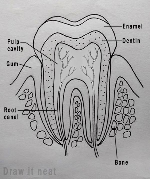Draw It Neat   How To Draw Tooth Diagram Labeled
