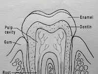 Tooth Diagram Labeled
