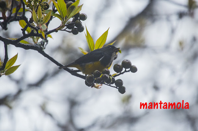 Yellow Bellied flowerpecker