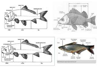Karakteristik Ikan Secara Umum