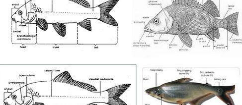 Karakteristik Ikan Secara Umum? Lihat Detailnya Disini