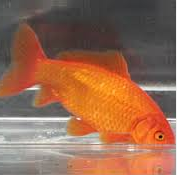 Jenis Ikan Koki Common kuning