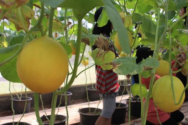 Pohon Buah Melon