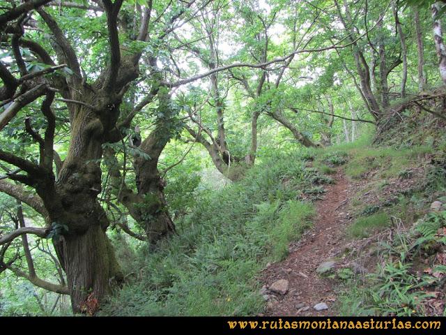 Ruta Hoces del Esva: Cruzando bosque de robles y castaños hacia Adrao