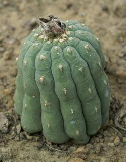 Matucana madisoniorum - Submatucana madisonorium