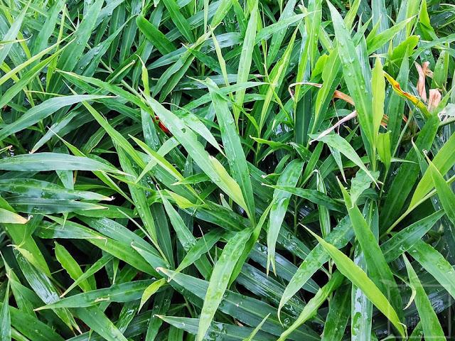 Jak wyhodować imbir lekarski z kłącza w domu? Uprawa i pielęgnacja imbiru w doniczce i w gruncie. Jak wybrać kłącze imbiru do hodowli, jak długo kiełkuje imbir?