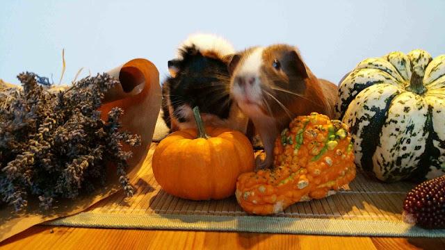Meerschweinchen verstehen: Meerschweinchengruppe Muck und Holly
