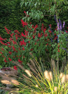 Salvia elegans with pennisetum