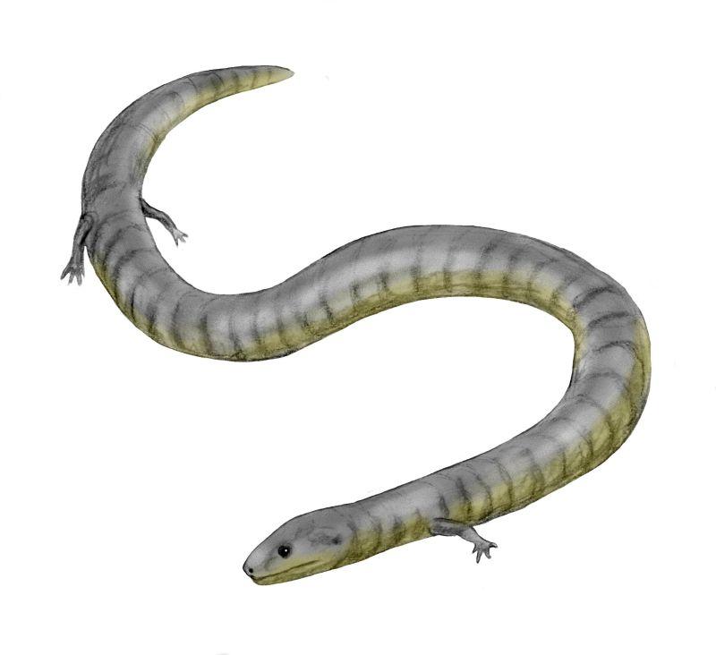 Amphibians: Eocaecilia BW
