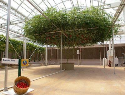 Pohon Tomat Raksasa Yang Ajaib