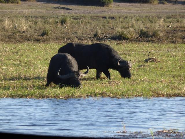 Búfalos en Chobe