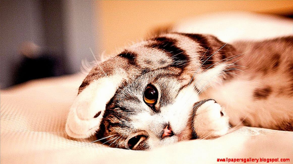 Funny Wallpapers For Laptop 60 Images: Funny Relaxed Cat Animal Wallpaper