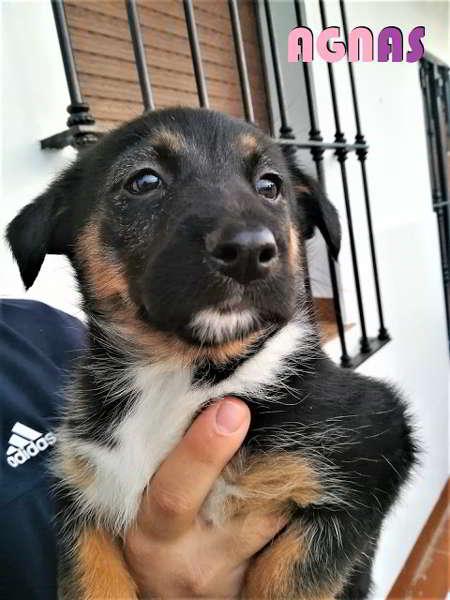 cachorro talla mediana cruce pastor 4