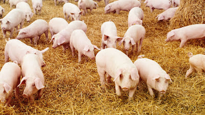 Loại bỏ hiệu quả yếu tố kháng dưỡng trong khẩu phần thức ăn chăn nuôi Poster-p-pigs