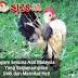 Ayam Serama Asal Malaysia Yang Berpenampilan Unik Dan Memikat Hati