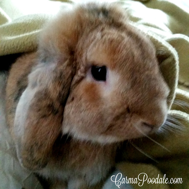 Lop eared rabbit name Peanut playing in the covers