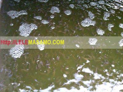 Cara mengatasi Air Hujan yang masuk ke Kolam Lele