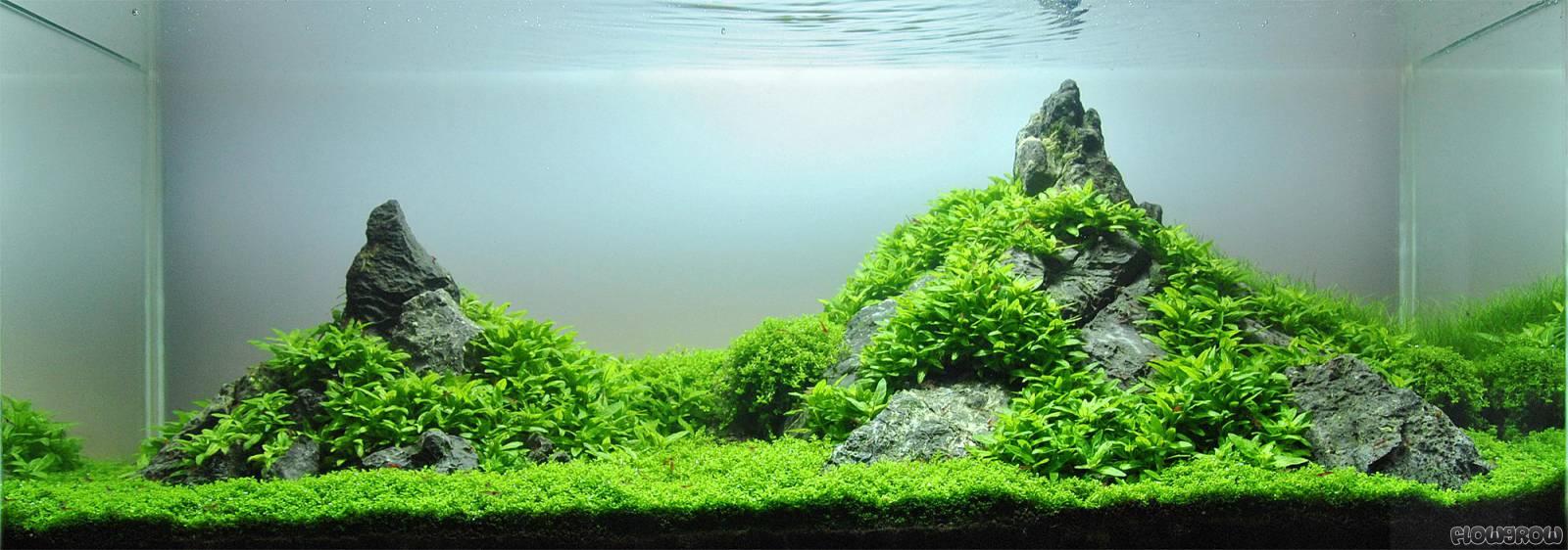 cây rau thơm thích hợp với mọi kích thước hồ thủy sinh