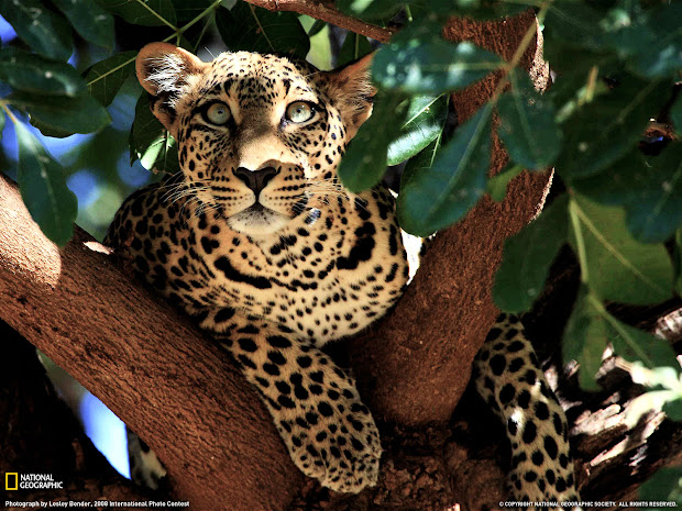 Beautiful Wild Animal Leopard