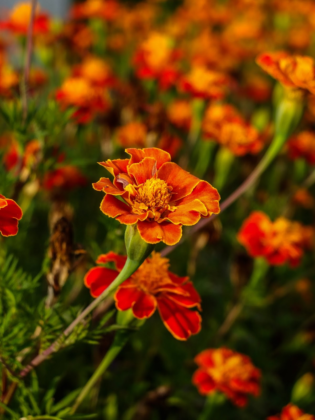 Orange Marigolds with yellow surrounds in Northern Portugal.