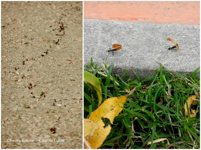 Hormigas llevando hojas al hormiguero - Chacra Educativa Santa Lucía