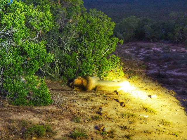 Sleeping male lion in Addo Elephant National Park, South Africa