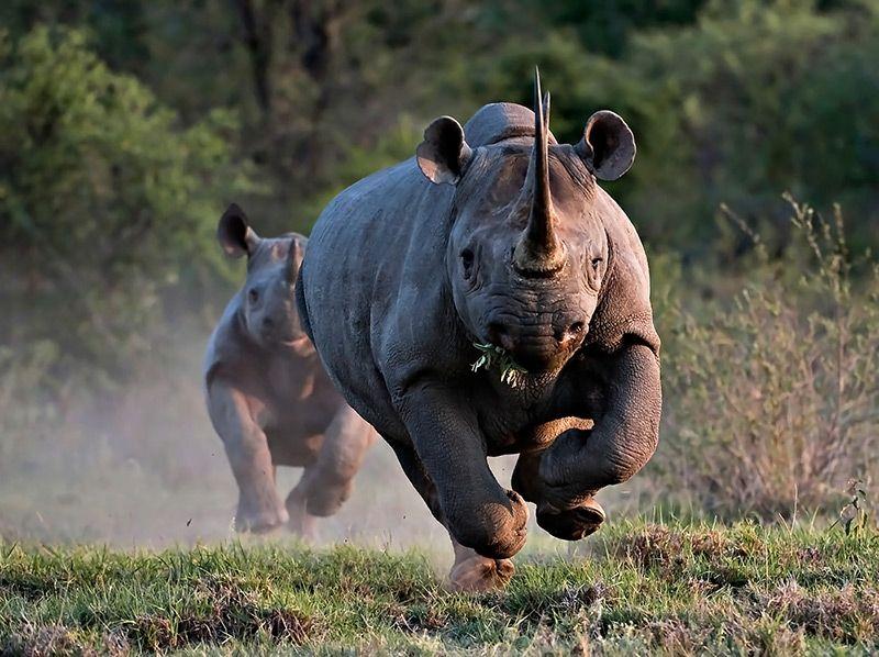 Rhinoceros qui charge - la défense et l'attaque du rhinoceros d'afrique