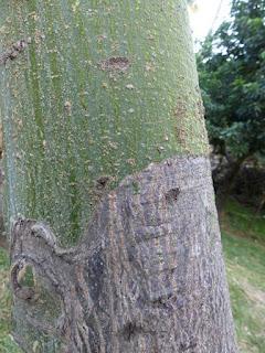Pistache arbuste - Noisetier de Cayenne - Pachira glabra - Bombacopsis glabra