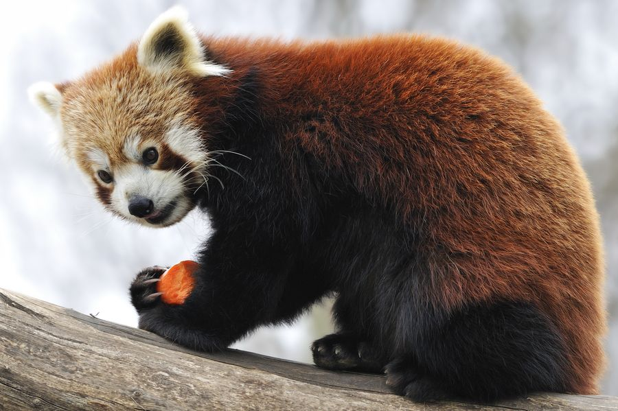 4. Red Panda with Carrot by Josef Gelernter
