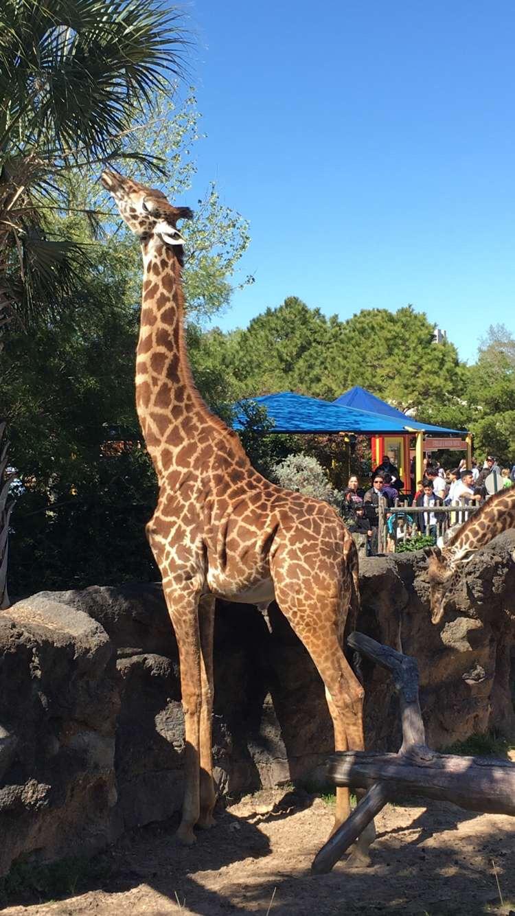 Giraffe at the Houston Zoo