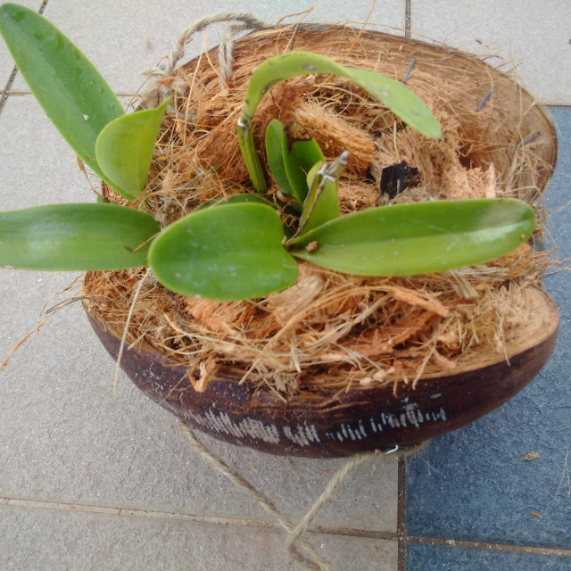 gardening, coconut flower pots, orchids, flower pot, hanging flower pots, gardening crafts ideas, gardening recycle, coconut husks, moist flower for longer period, gardening reuse
