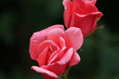 Keutamaan Aisyah binti Abu Bakar, bunga