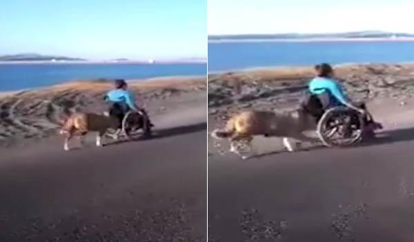 Bikin Haru, Anjing Ini Mendorong Kursi Roda yang Digunakan Majikannya
