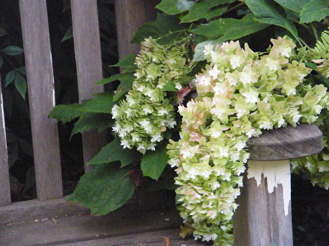 Hydrangea panicle drapes over the arm of a peeling paint garden bench.