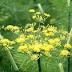 Khasiat Herbal Tanaman Adas