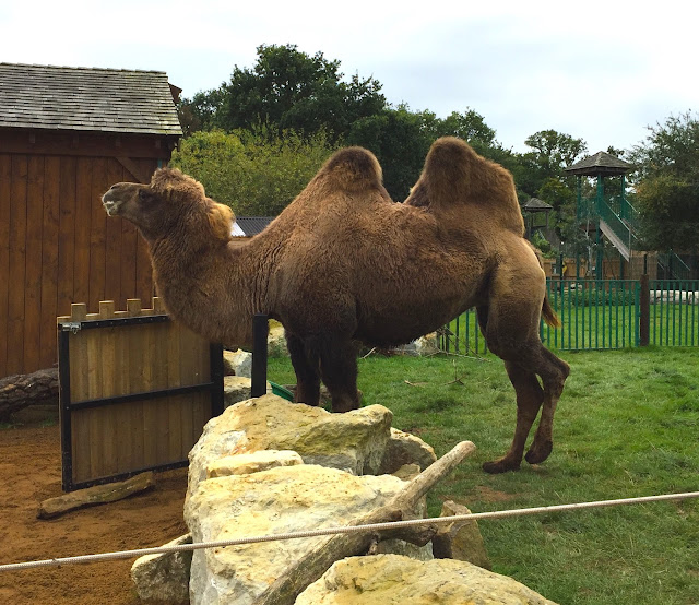 Camel at Paradise Wildlife Park in Hertfordshire